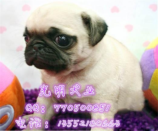 北京哪里卖巴哥幼犬 巴哥图片