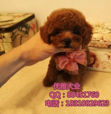 北京哪里出售微小体泰迪北京纯种泰迪能涨多大