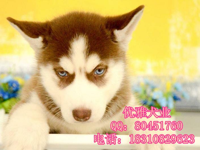 三把火蓝眼睛哈士奇幼犬出售 西伯利亚雪橇犬哈士奇