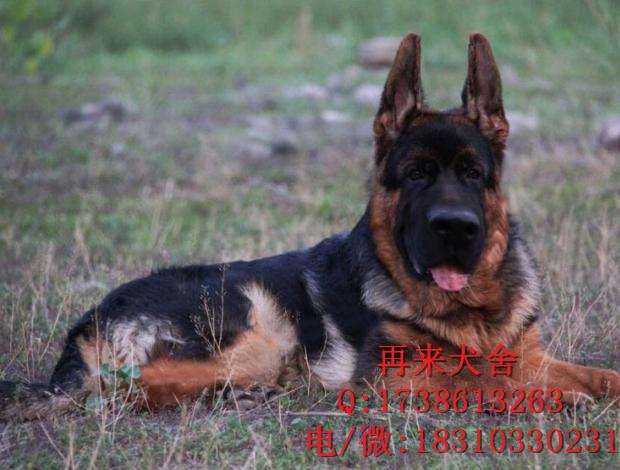 北京哪里卖德牧幼犬 纯种锤系德牧 德国黑背 德牧犬多少钱一只