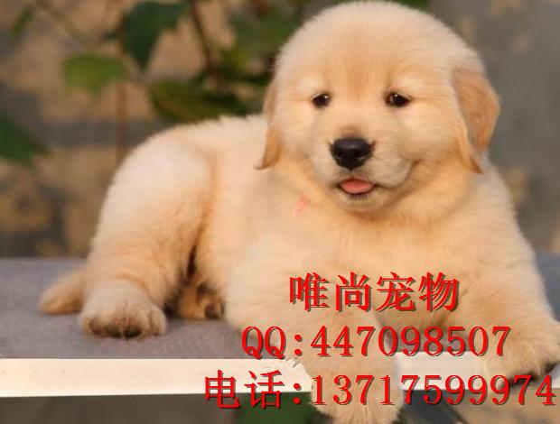 纯种金毛幼犬多少钱 北京哪里卖金毛犬 金毛图片